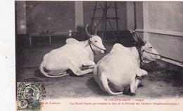 """COCHINCHINE Saïgon Les >Boeufs Sacrés Qui Trainent Le Char De La Divinité Des Chettys """"Soupramaniassamy"""" - Postcards"""