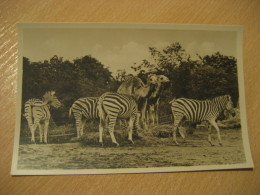 HAMBURG Zebra Dromedary Camel Hagenbecks Tierpark Stellingen Zoo Post Card Germany - Stellingen