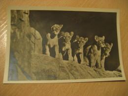 HAMBURG Lion Lowen Hagenbecks Tierpark Stellingen Zoo Post Card Germany - Stellingen