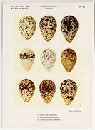 Oologia Belgica -  Vogeleieren, Oeufs D'oiseaux, Bird Eggs - 22 - Vanneau, Kievit, Lapwing, Ruff, Redshank, ... - Vieux Papiers