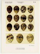 Oologia Belgica -  Vogeleieren, Oeufs D'oiseaux, Bird Eggs - 26 - Guifette, Stern, Tern, Sterne, Sterna - Vieux Papiers