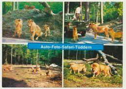 AK  Löwen Tiger Auto Safari Tüddern Bei Geilenkirchen - Lions
