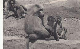 Cp , ANIMAUX , PARIS, Parc Zoologique Du Bois De Vincennes, Une Famille De Singes Hamadryas - Autres