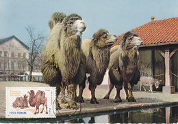 MAXIMUM CARD  CAMELS - Animalez De Caza