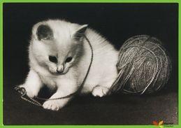 Voyo GERMANY/DDR  Kätzchen Mit Wolle  Cat 1984 Unused Planet Nr 7795 Echt Foto - Chats