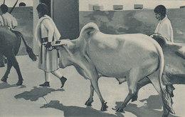 ERITREA - AFRICA ORIENTALE -  Colonia Italiana - A.O.I. /  Fauna Eritrea _ Bue Gibboso - Eritrea