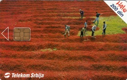 SERBIA - Field Of Red Pepper , 02/04, Sample No Control Number - Yugoslavia