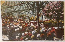 FRANKFURT AM MAIN - Palmengarten - Chrisantemum Im Blutenfior Flowers Nv - Frankfurt A. Main