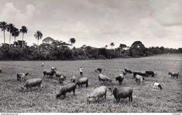 76Di   Cote D'Ivoire Orstom Institut D'Adiopodoumé Troupeau Vaches Ferme Experimentale - Côte-d'Ivoire
