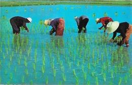 Culture Du Riz Thaïlande Cultivation Of The Rice In Thaïland, Transplantation Of Tender Rice Plants - Carte Non Circulée - Thaïlande