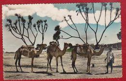 ADEN CAMELS RETURNING FROM MARCKET SHELKH OTHMAN YEMEN POSTCARD - Yemen