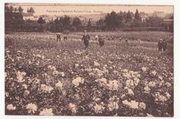 Scherpenheuvel: Roseraies Et Pépinières Michiels Frères. - Scherpenheuvel-Zichem