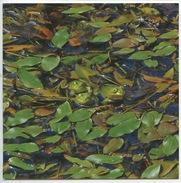 Grenouille Verte - Pelophylax (grenouilles) Amphibien Parc Boucles De La Seine - Tierwelt & Fauna