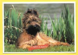 Chien - Hund - Dog - BERGER DE BRIE - CANE - - Chiens