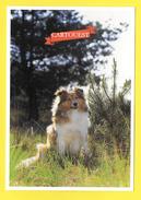 Chien - Hund - Dog - SHETLAND - CANE - - Chiens