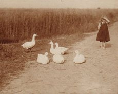 Photo Originale La Fillette Et Ses Oies Blanches Vers 1910 - Ferme Et élevage D' Anatidés à Gaver - Personnes Anonymes
