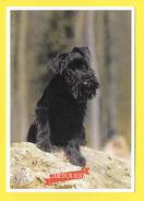Chien - Hund - Dog - SCHNAUZER NAIN - CANE - - Chiens