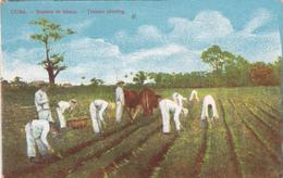 CPA CUBA Siembra De Tabaco Tobacco Planting Plantation De Tabac Agriculture Culture Paysans - Postcards