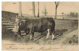 En Limousin: Un Lauréat, Taureau Gros Plan - Ohne Zuordnung