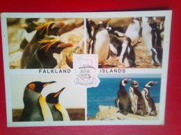 Penhuins - Falkland Islands