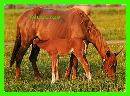 CHEVAUX, HORSES - MÈRE AVEC SON POULIN - CIRCULÉE EN 1986 -  PHOTO DECOR LTD - - Chevaux