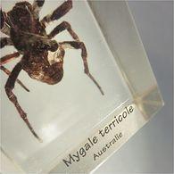 ~ ARAIGNEE MYGALE TERRICOLE D'AUSTRALIE INCLUSION DANS RESINE # Arachnide Aranéides Arachnophobie - Minéraux & Fossiles