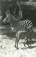 ZEBRA * BABY ZEBRA * ANIMAL * ZOO & BOTANICAL GARDEN * BUDAPEST * KAK 0234 741 * Hungary - Zebra's