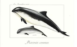 Les Mammifères Marins - Marsouin Commun - Fish & Shellfish