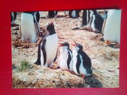 Gentoo Penguins - Falkland Islands