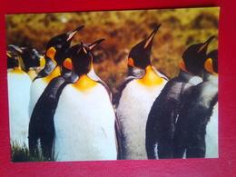 King Penguins - Falkland