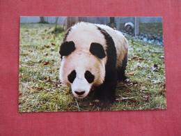 Giant Panada Washington DC Zoo  ==  == Ref 2811 - Bears