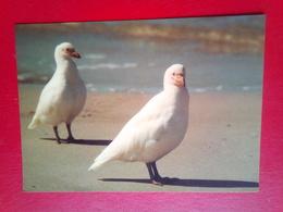 Snowy Shealthbills - Falkland