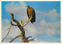Afrique > Afrique Du Sud Southern Hooded VULTURE (bird Oiseau)*PRIX FIXE - South Africa