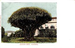 Tenerife -  Dragon Tree - Tenerife