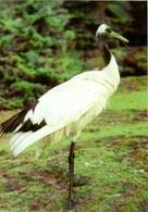 Mandschurenkranich - Vögel