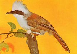 Weißhaubenhäherling - Vögel