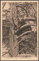 Bear In Tree, Yellowstone Park, Wyoming WY, USA, C.1910s - Haynes Postcard - Yellowstone