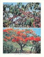 Photo Landry, Pédagogie Pratique 1957 - Nouvelle Calédonie: Un Caféier Et Un Flamboyant - Géographie
