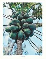 Photo Landry, Pédagogie Pratique 1957 - Nouvelle Calédonie: Un Papayer (arbre à Papaye) - Géographie