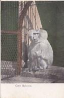 GREY BABOON - Monkeys