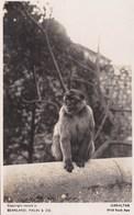 WILD ROCK APE, GIBRALTER - Monkeys