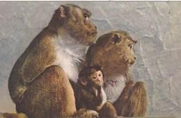 JAVANESE MONKEYS - Monkeys