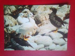 Kelp Geese - Falkland Islands