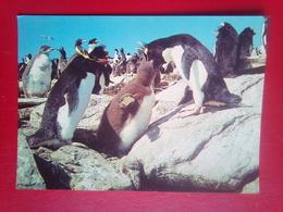 Rockhopper Penguins - Falkland