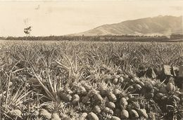 Cpa Hawii Champ D'ananas - Etats-Unis