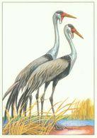 Klunkerkranich - Vögel