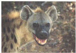Tiere / Animals / Animaux: Tüpfel-Hyäne (D-A222) - Animaux & Faune