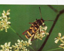 Widderbock (Käfer) - Insekten