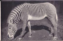 Parc Zoologique Du Bois De Vincennes Zèbre De Grévy - Zèbres