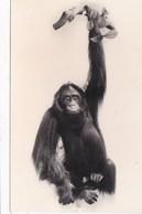ORANG UTAN - Monkeys